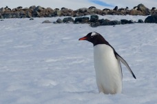 antarctica_klein-68
