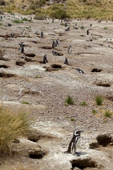 pinguine-3